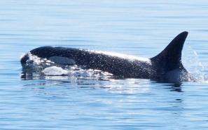 granny-orca